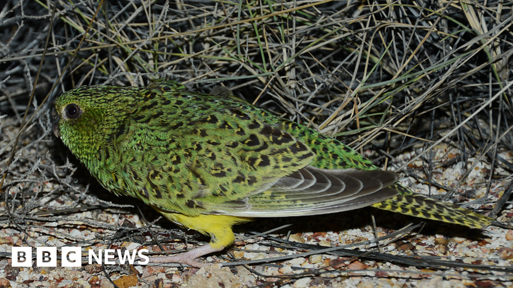 Night parrot finding in Australia not backed up by evidence