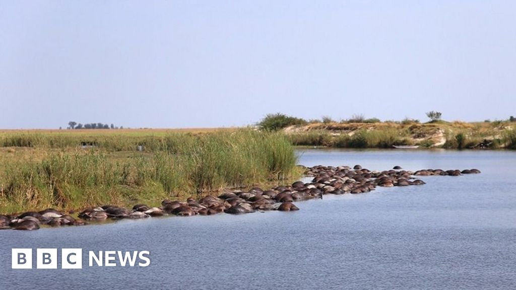 Lions blamed as hundreds of buffalo drown in Botswana