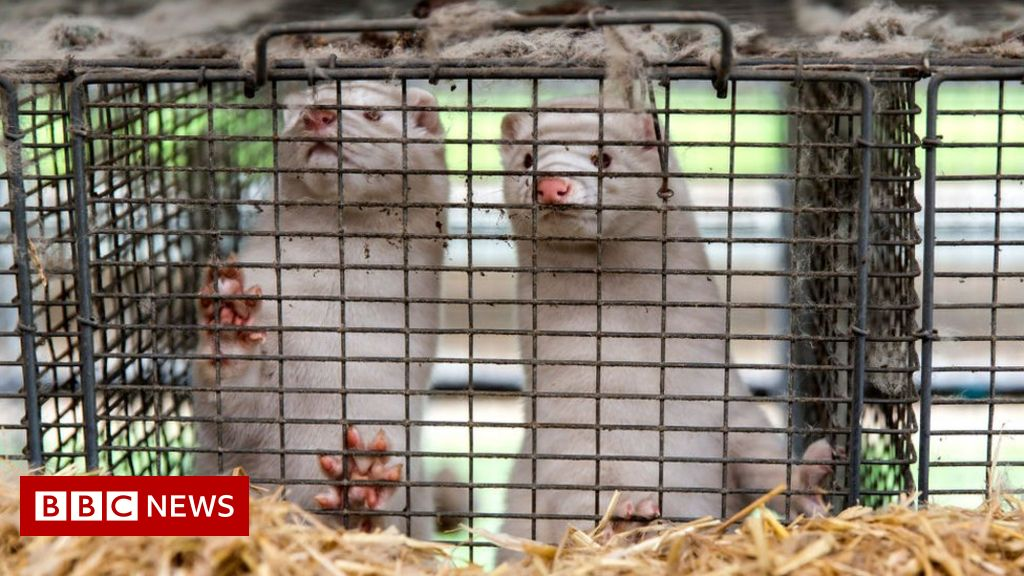 Denmark mink cull: Government admits culling had no legal basis