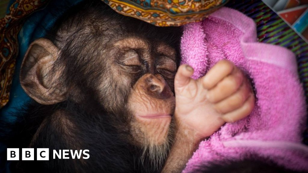 Nemley Junior: chimp rescued from traffickers dies - BBC News