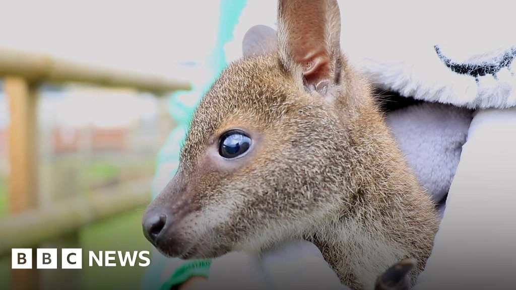 Orphaned baby wallaby reared in rucksack