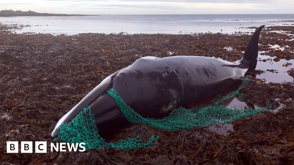 Pregnant whale found tangled in 'ghost gear'