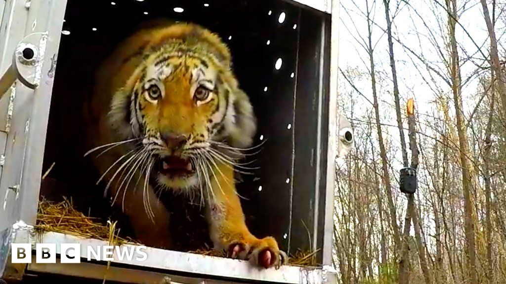 Rare Russian tiger returns to the wild