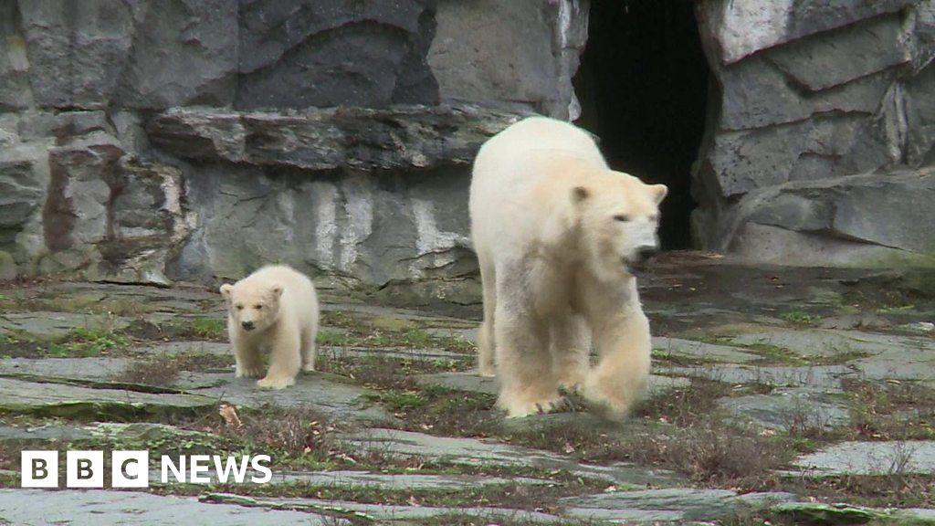 eca28f1689a29 Baby polar bear takes first steps at Berlin zoo - BBC News