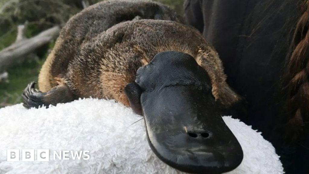 Platypus habitat 'has shrunk by 22%' since 1990
