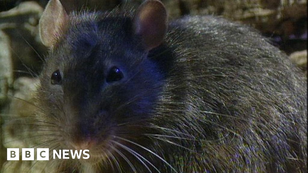 Man finds dead rat in car engine - BBC News