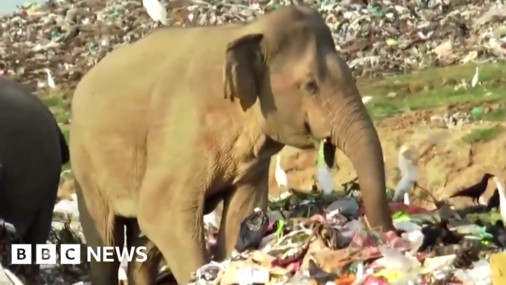 Sri Lanka digs trench to keep elephants away from rubbish dump - bbc
