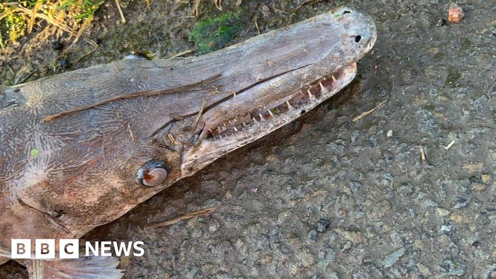 Dead 'alligator gar' fish found in canal
