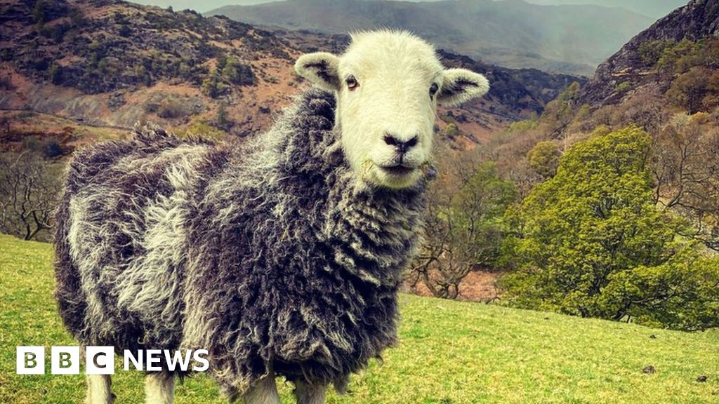 Herdwicks: The 'smiley' sheep that shaped the Lake District