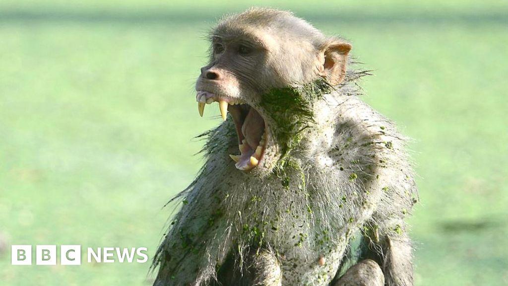 Monkey kills baby boy in Indian city thumbnail