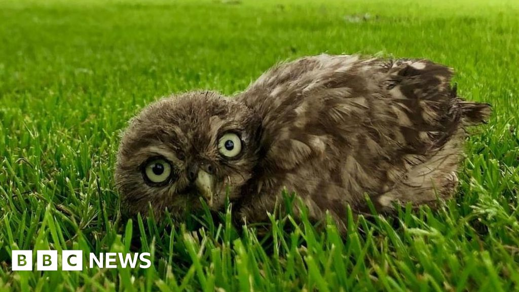 Fallen owl chick helped back to nest at North Somerset school thumbnail