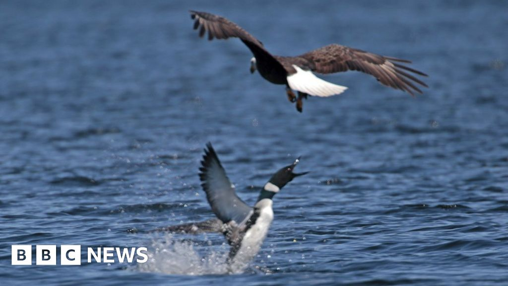 Canada v US: Loon stabs eagle through heart - BBC News