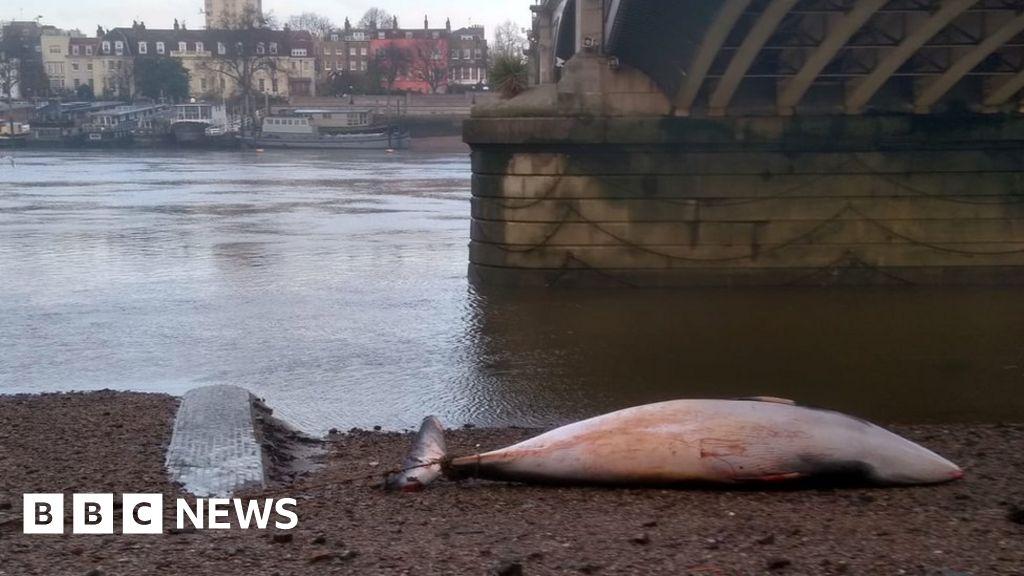 Battersea Bridge minke whale found motionless on shore