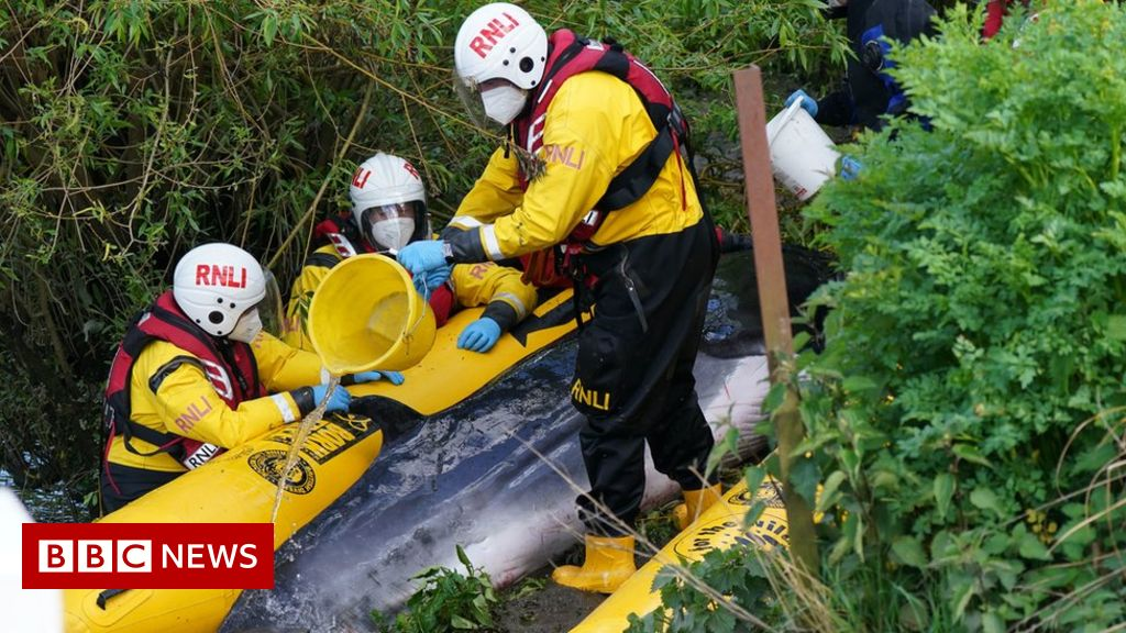 River Thames whale: Stranded baby minke is put down