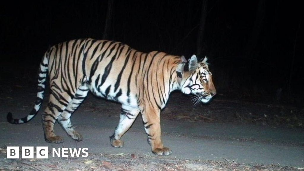 India tiger awaits mate after 'longest' 3,000 km journey