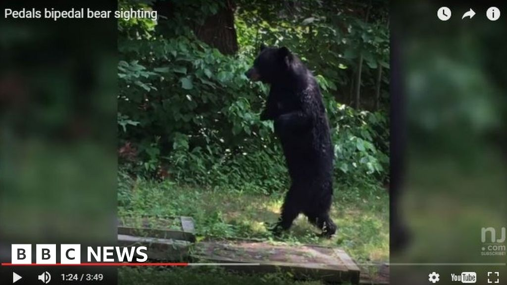 c8522812f46 Killing of Pedals 'the walking bear' sparks hunting debate - BBC News