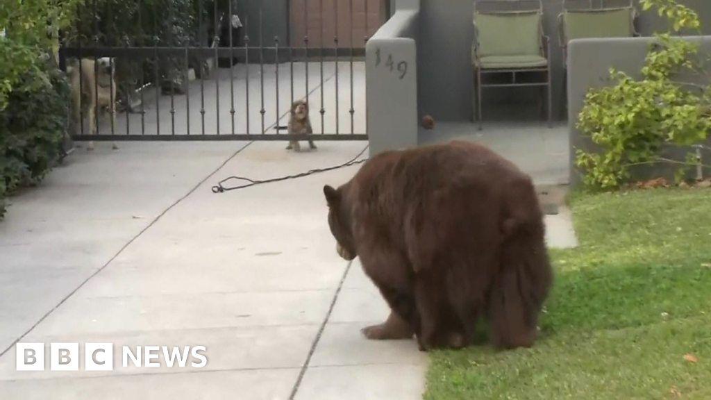 Dogs meet bear in California neighbourhood