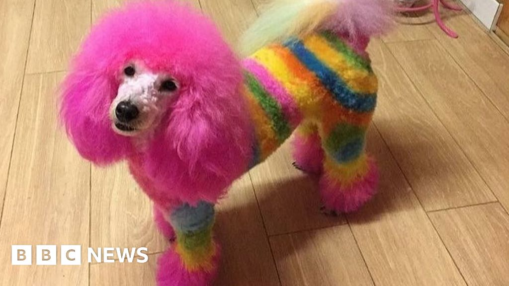 Extreme Dog Grooming Harmless Fun Or Threat To Pets Bbc News