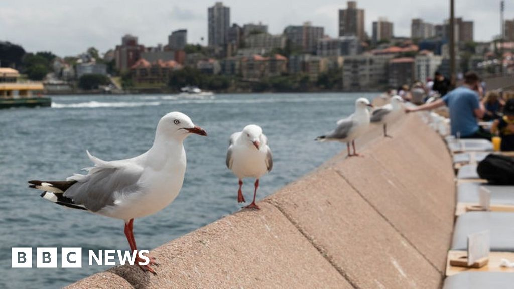 Australian gulls carry antibiotic-resistant bugs thumbnail