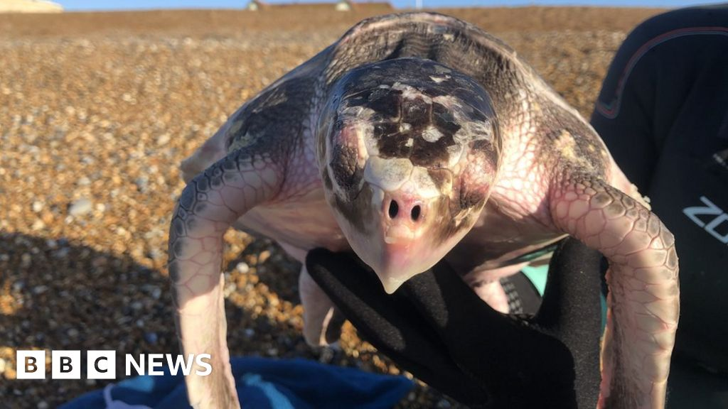 Olive ridley turtle found injured from Seaford beach