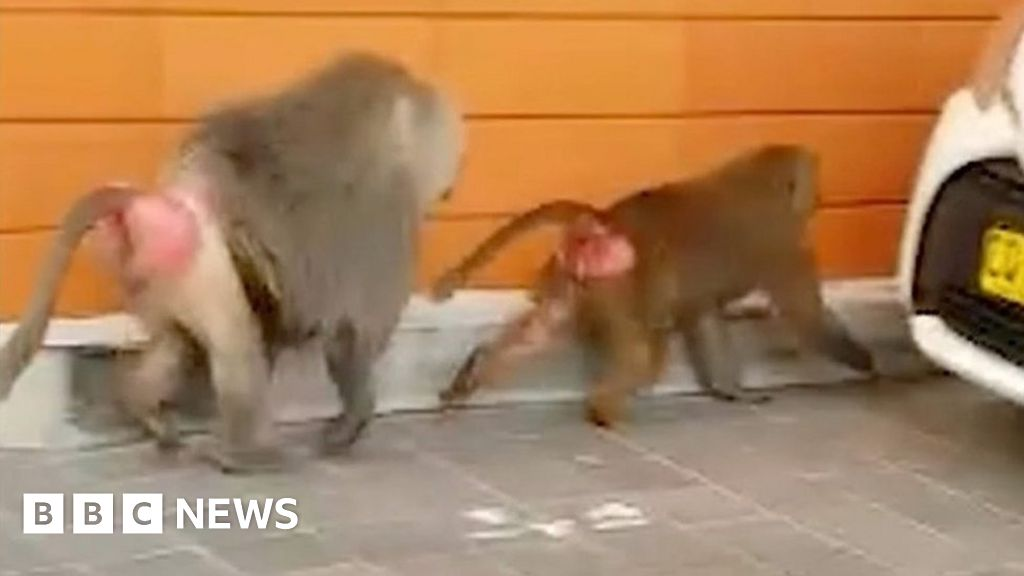 Vasectomy-escaping baboons on the run in Sydney thumbnail