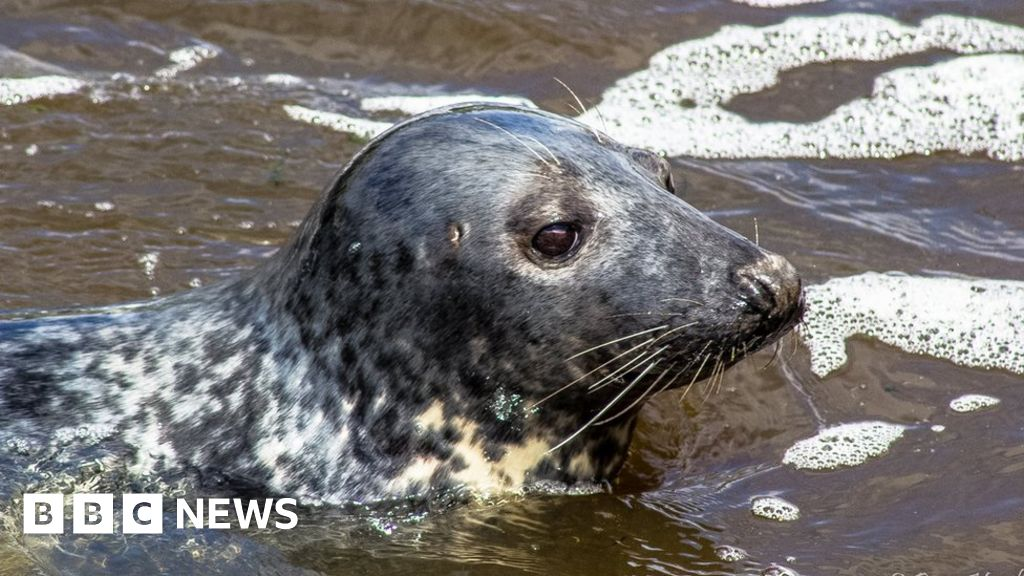 River Tees seals: 'Keen-eyed' spotters sought for survey