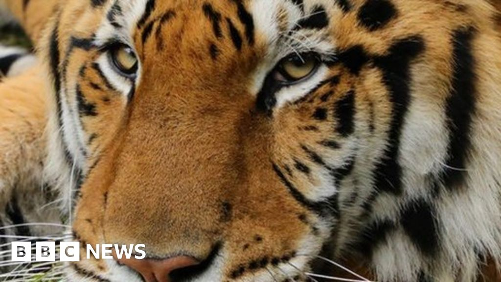 Tiger mauls volunteer at Carole Baskin's Big Cat Rescue