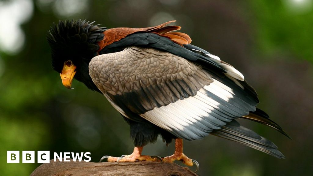 Lazy Eagle Flies Off From Newent Birds Of Prey Centre Bbc News