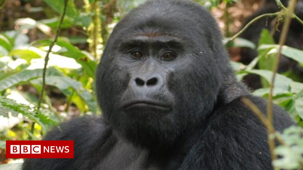 Killer of Rafiki, Uganda's rare silverback mountain gorilla, jailed