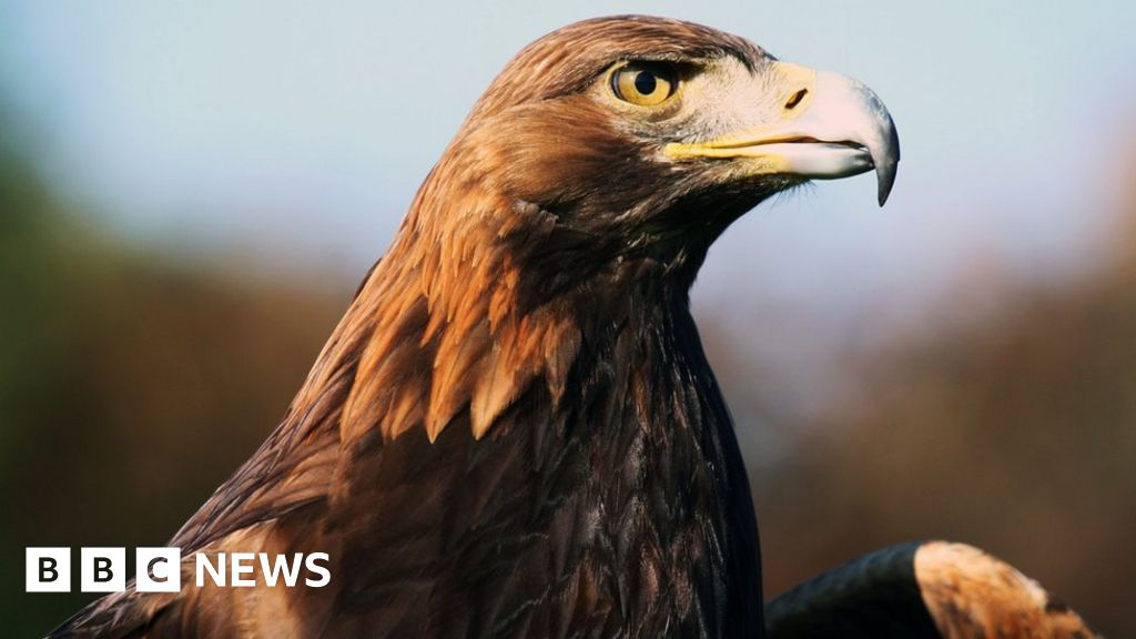 remains of world u0026 39 s oldest ringed golden eagle found in