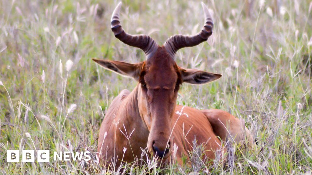 Saving one of the world's rarest antelope