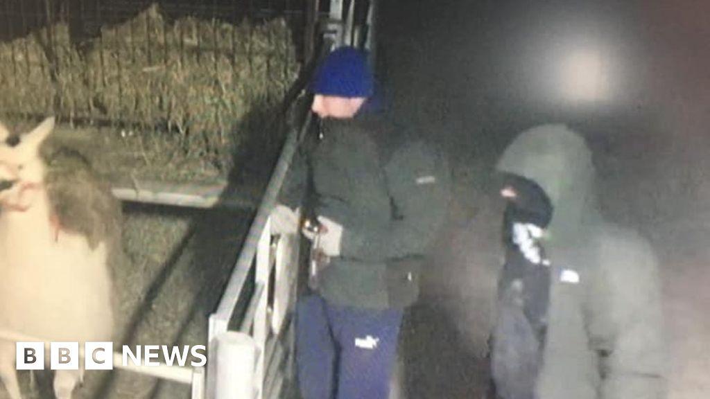 Burglars stop to feed llama during farm park raid