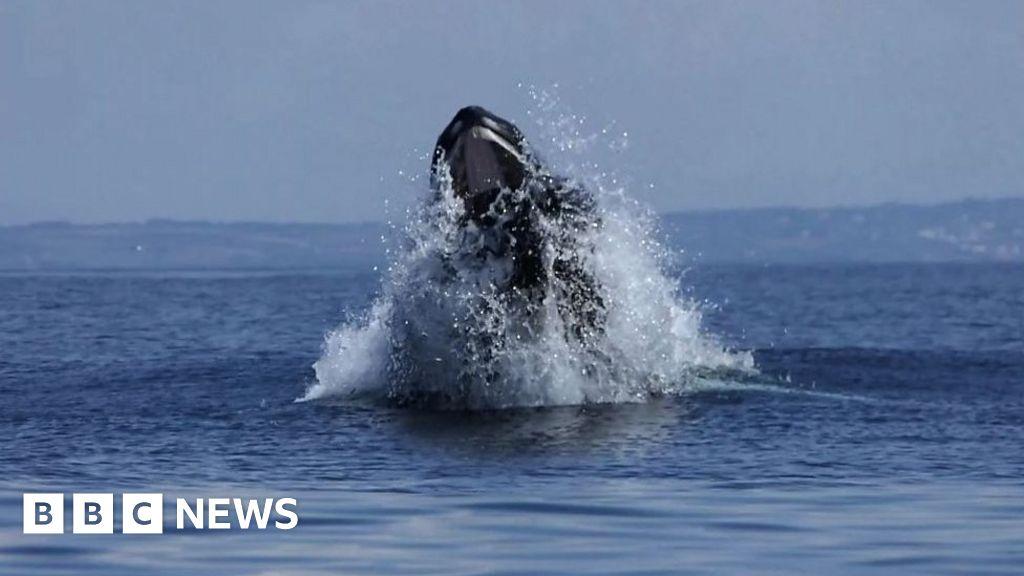Rare sighting of humpback whale off coast of Cornwall