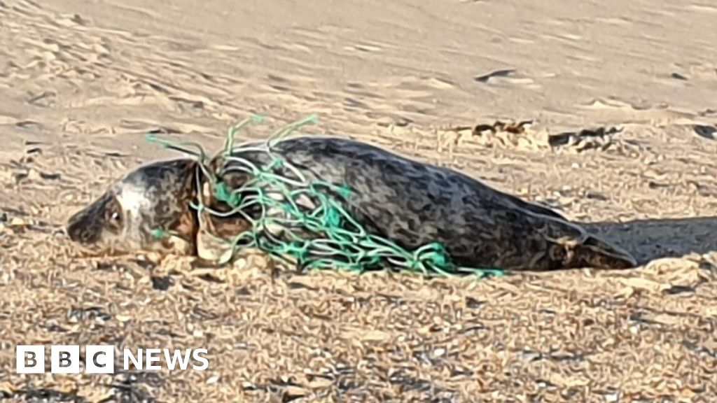 Discarded netting injures seal's neck and flippers