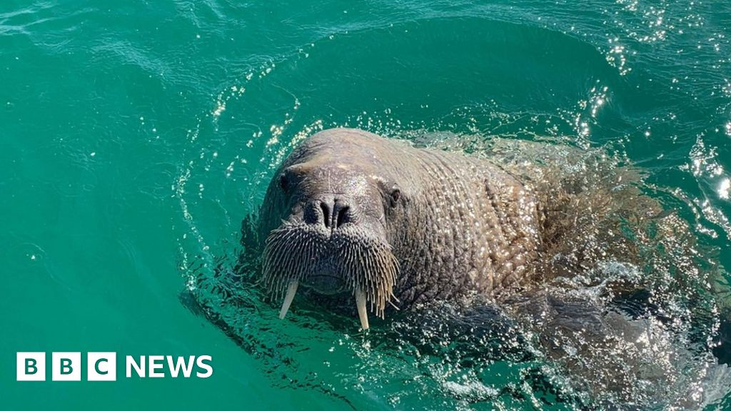 Isles of Scilly walrus spotted off Republic of Ireland