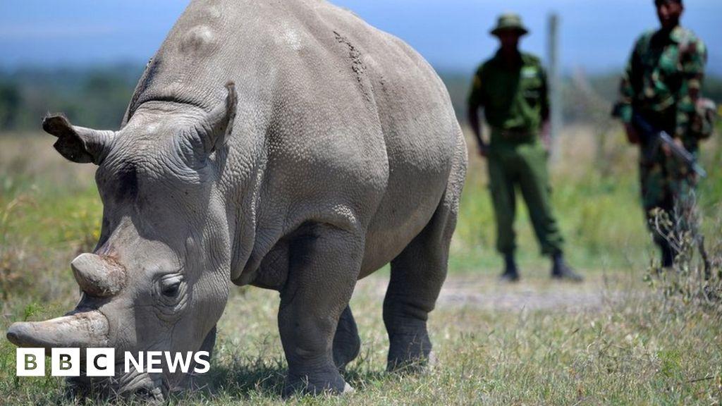 One of world s last northern white rhinos retired from breeding scheme