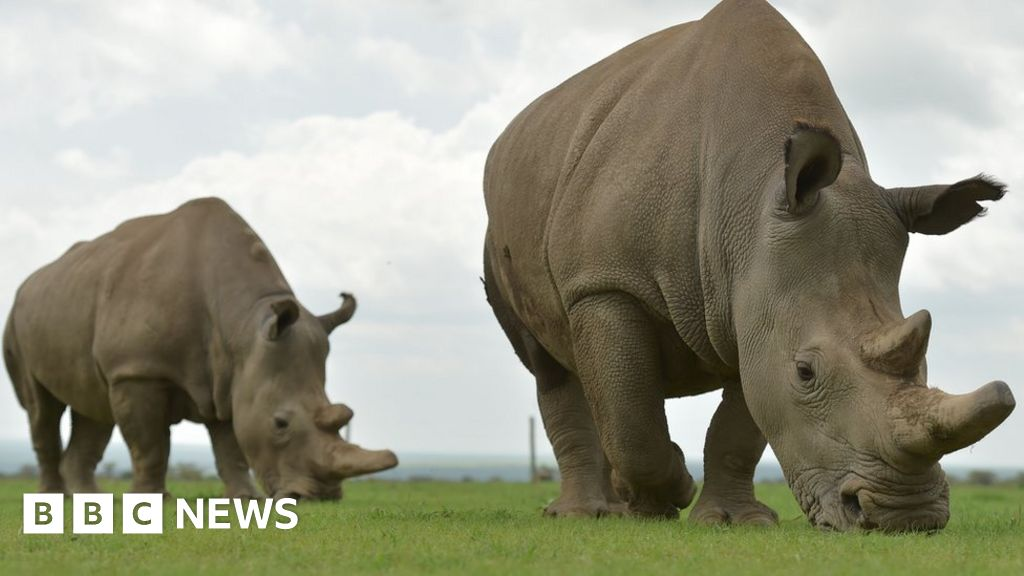 The Northern white rhinos: The bold plan that could save a kind of