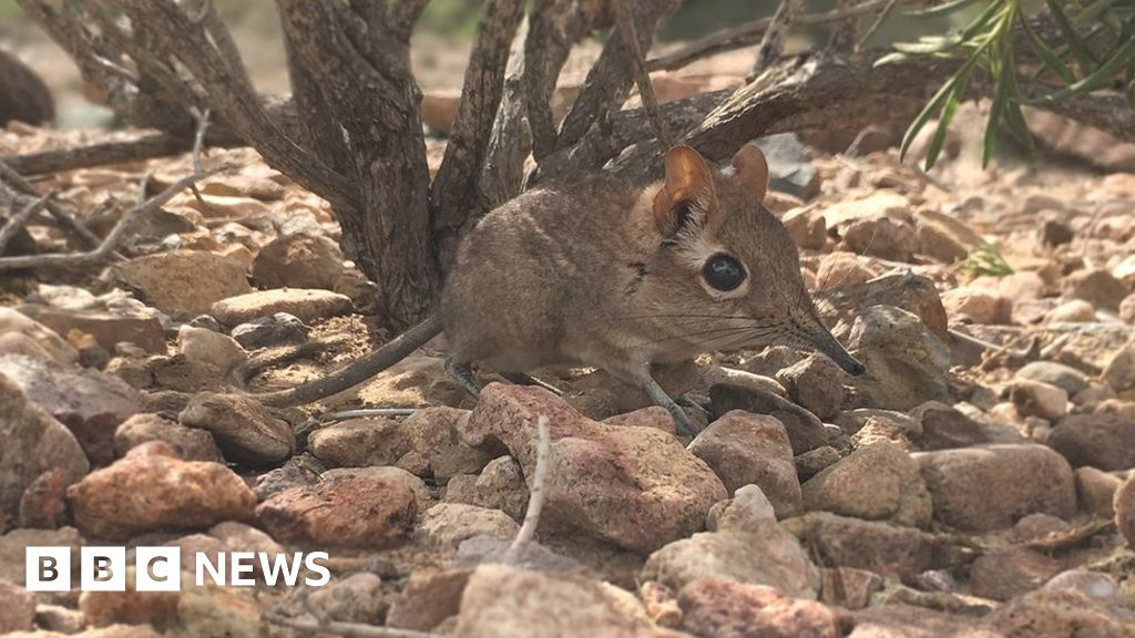 Elephant shrew rediscovered in Africa after 50 years