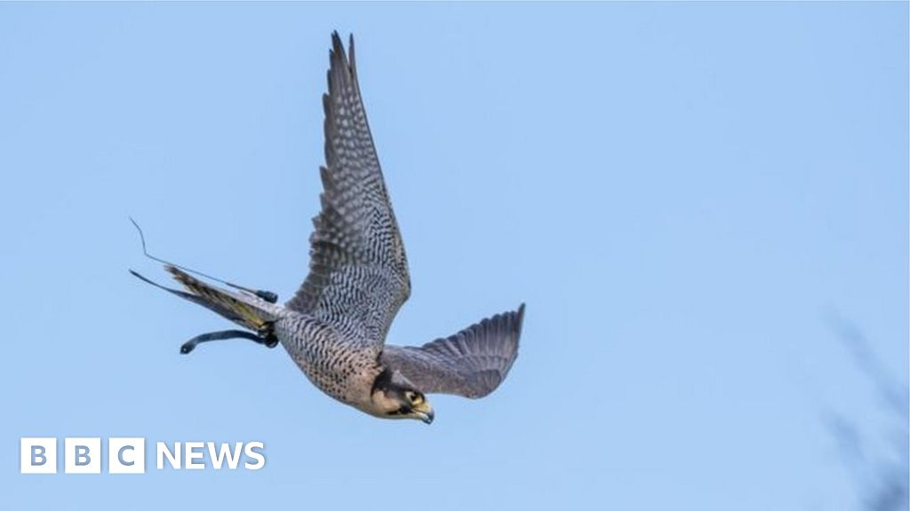 Wild falcon tests positive for bird flu in Dumfries and ...