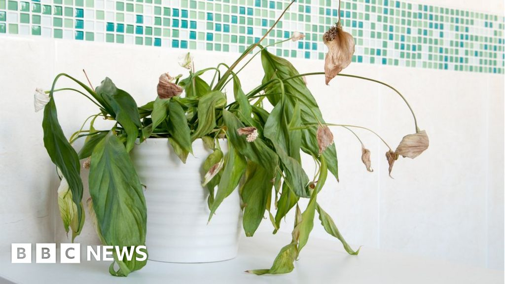 Heatwave: How to keep your beloved plant alive - BBC News