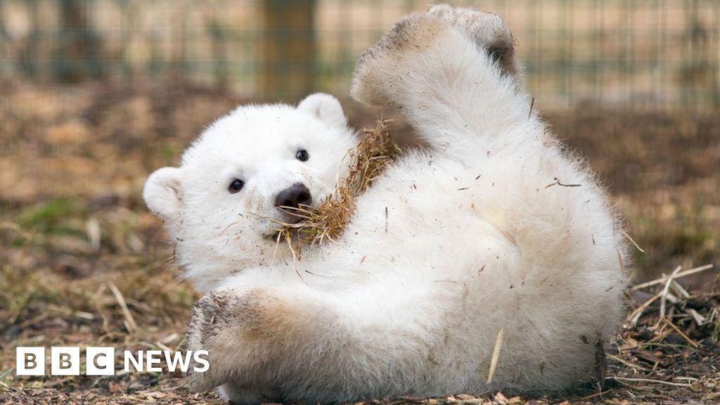Highland polar bear cub is a boy