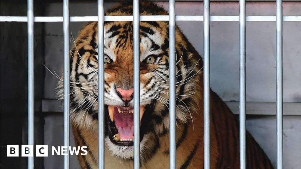 The tiger 'gift' that horrified Polish rescuers