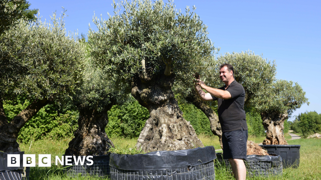 Plant disease: UK limited olive tree to stop imports of infection
