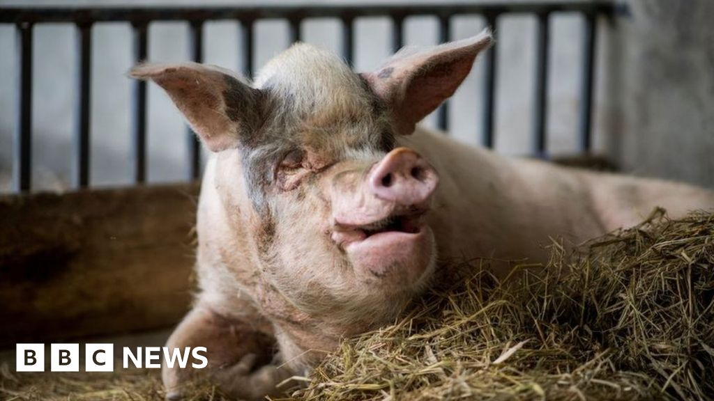 A pig of strong will: The animal that survived the Sichuan earthquake dies