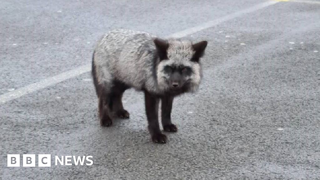 Black fox loses leg after being caught in snare in Barry