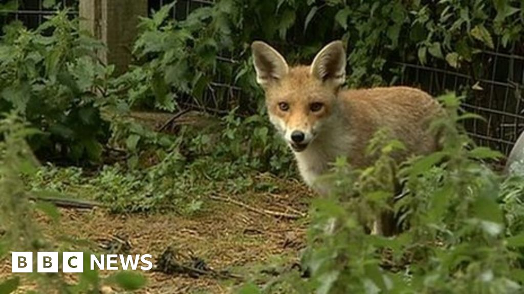 Charity warns against keeping foxes as pets - BBC News