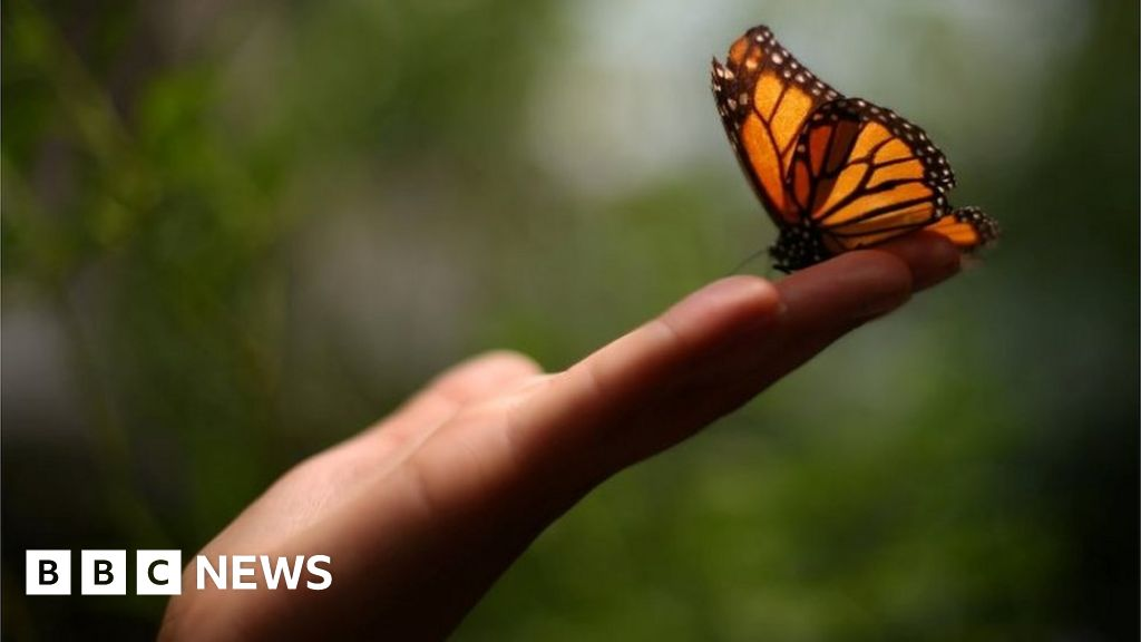 Monarch Butterfly Numbers Down For Second Year In Mexico