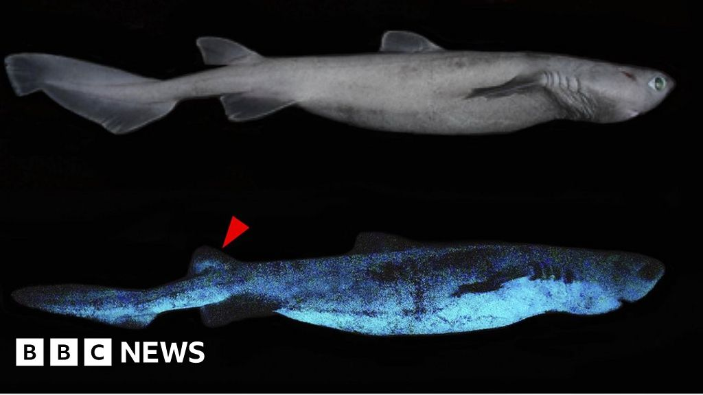 Glow-in-the-dark sharks found off New Zealand coast