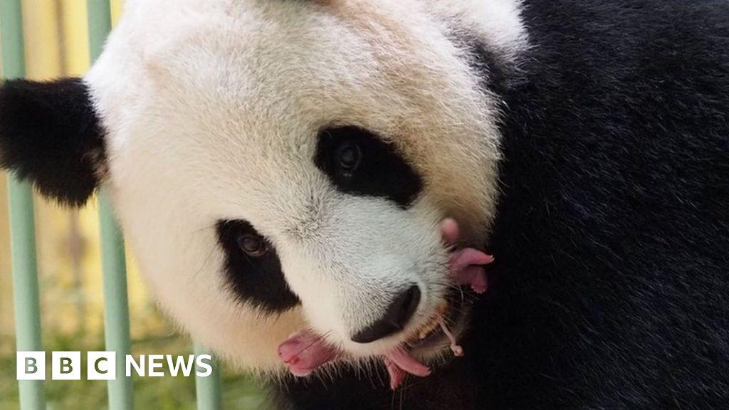 Giant panda twins born in French zoo