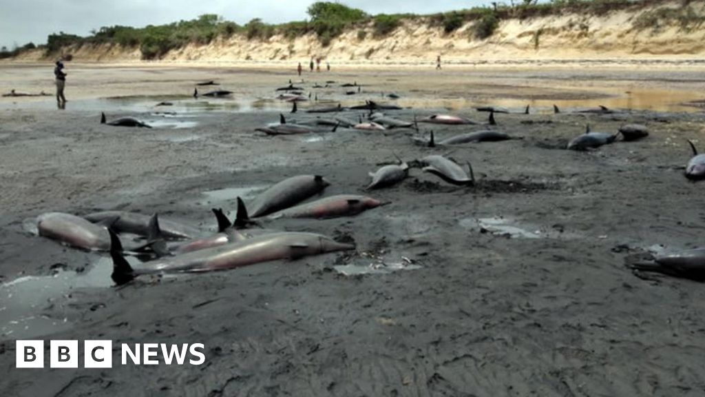 Dozens of dolphins found dead on Mozambique beach